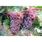 供应出售长白红火接穗、红叶李、俄罗斯红叶李、王族海棠、三红太阳李绿化苗接穗和芽
