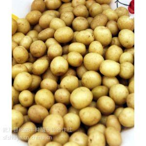 供应脱毒马铃薯|脱毒马铃薯种薯|内蒙古马铃薯种薯|武川马铃薯种薯