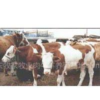 供应肉牛,波尔山羊,鲁西黄牛,养殖场,,肉牛的价格,波尔山羊价格