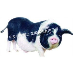 供应湖南宁乡花猪种猪
