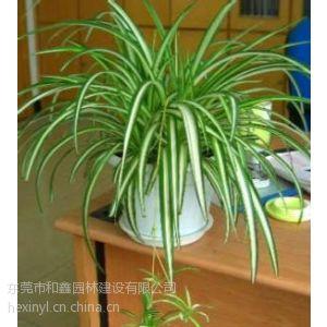 供应盆栽花卉、金边吊兰、净化空气必备的植物