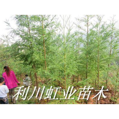 湖北恩施利川柳杉树苗3米高柳杉树苗