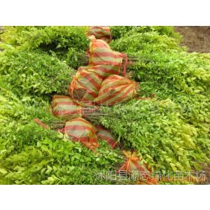 供应红叶小檗、迎春、金叶女贞、小叶女贞、龙柏
