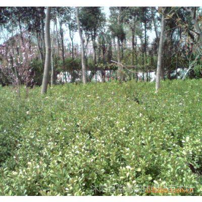 供应瓜子黄杨、大叶黄杨、金边黄杨工程苗