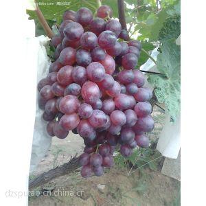 供应占地葡萄苗 占地葡萄苗品种 占地葡萄苗价格