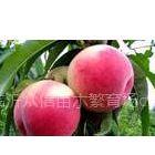 供应桃树:春雪,早凤王,突围、新川中岛、苍方早生、美香、春艳、桃王久久