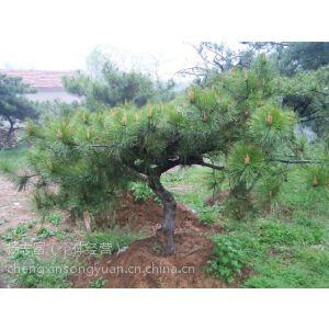 供应景观松树 山东绿化造型油松 莱芜油松 大型油松