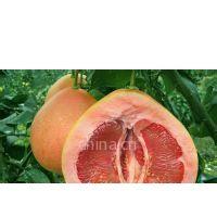 供应红肉蜜柚苗木种植技术 ,三红蜜柚苗栽培技术,红心蜜柚苗种植技术