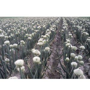 供应大葱种子,种苗。