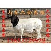 供应杜泊绵羊 杜泊绵羊价格 杜泊绵羊母羊 小尾寒羊养殖场 山东杜泊绵羊