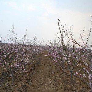 的映霜红桃树哪里有——个大耐藏映霜红桃树