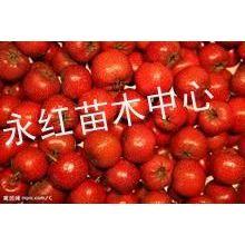 供应新鲜山楂苹果山西山楂柿子