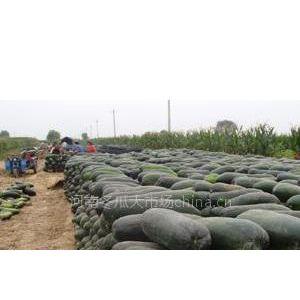 供应大量供应冬瓜百万吨黑皮冬瓜上市
