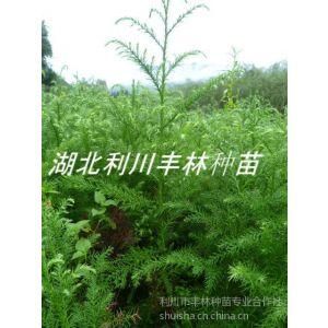 供应柳杉苗 1米高柳杉苗 湖南柳杉树苗价格