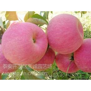 供应2014年苹果树苗价格 富士苹果树苗 优质苹果苗