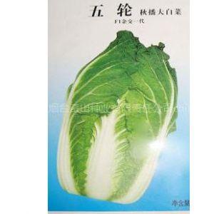 供应五轮秋播大白菜种子