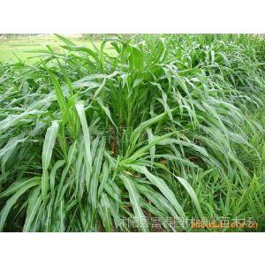 供应墨西哥玉米,墨西哥玉米草种子,又名大刍草