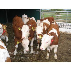 供应肉驴肉牛养殖场管理五种方法山东养马场顺龙牛羊养殖