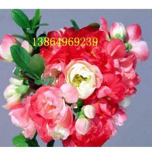 供应多色木瓜海棠花、海棠花盆景、皱皮木瓜苗