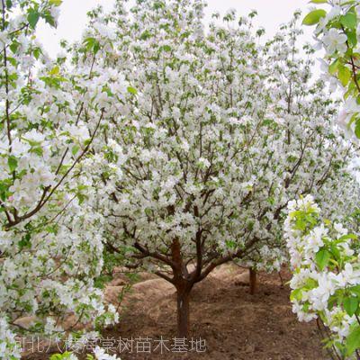 供应八棱海棠树价格 求购八棱海棠树 到八棱海棠苗木基地