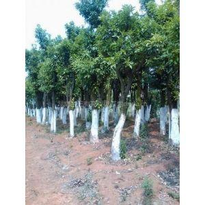 供应香泡树|湖南香泡树|益阳香泡