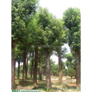 供应供应28公分精品移植香樟益阳市慧林园林