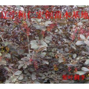 供应供应紫叶稠李、紫叶稠李基地、辽宁紫叶稠李、紫叶稠李小苗、紫叶稠李种子