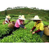 供应优质绿茶提取物茶多酚20%-98% EGCG:15%-98% Catechin:30%-90%