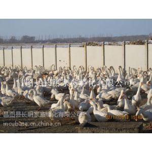 供应松原鹅雏、吉林鹅雏、鹅种蛋