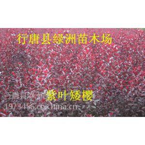 供应石家庄哪有便宜紫叶矮樱出售