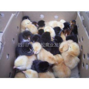供应面向全国 实价批发各类优质鸡雏 鸭雏 鸡苗 鸭苗 康达尔等