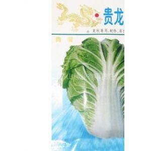 供应贵龙五号大白菜种子
