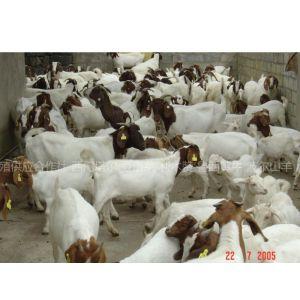 供应种羊价格,肉羊养殖场,优质波尔山羊价格,小尾寒羊价格