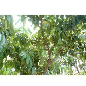 供应北京买果树买各品种果树请联系13621334541