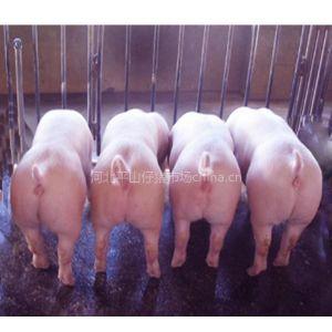 供应河北石家庄仔猪市场