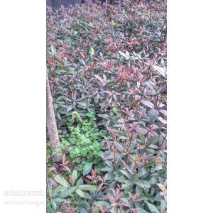 供应四川桢楠种子、四川成都桢楠树种子种苗、四川桢楠树苗基地