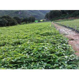供应重庆香樟苗香樟树/重庆江津绿华苗圃/供应各种规格香樟苗