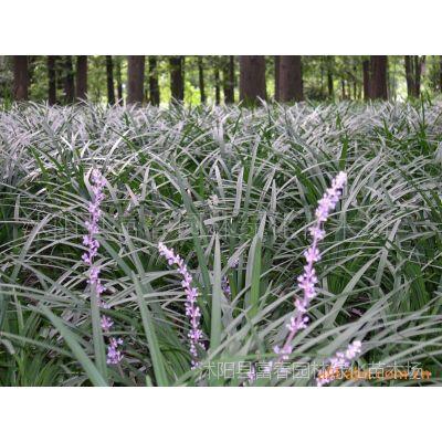 供应耐寒耐荫耐涝园林景观植物-兰花三七,兰花三七苗