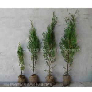 供应营养钵的侧柏苗木高05-1-1.5米200万株