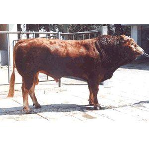 供应阿拉尔育成肉牛犊牛的饲养管理