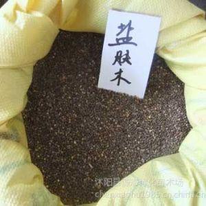 供应供应盐肤木,盐肤木种子,盐肤木种苗,源态盐肤木