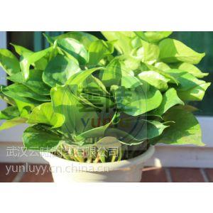 武汉大小型盆栽多肉植物防辐射的植物仙人球可水培不烂