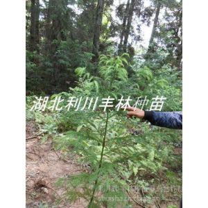 供应一米五高柳杉苗 柳杉树小苗 重庆柳杉树苗价格