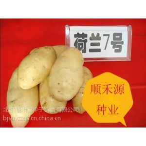 供应土豆种子内蒙古土豆种子