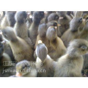 供应沭阳孵化场出售蛋鸭苗品种母鸭苗