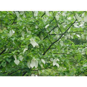 供应落叶乔木之珙桐树苗