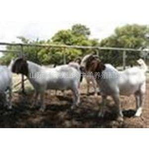 供应山西晋城哪里出售波尔山羊吗