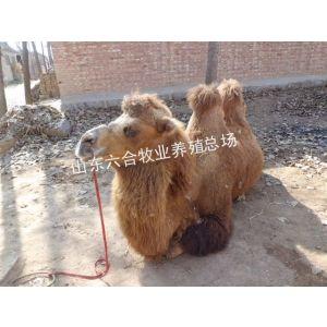 供应骆驼养殖双峰骆驼单峰骆驼繁育出售