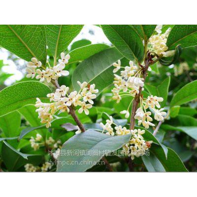 供应供应桂花种子桂花的种植技术桂花育苗技术金桂种子