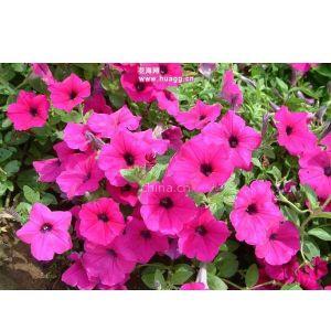 供应长沙供应一二年生草花及绿色植物花卉